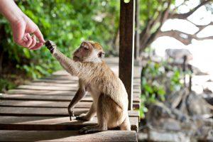 Attention aux singes !!